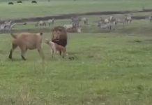 perro planta cara a dos leones