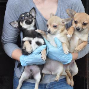 Animalistas se llevan 192 perros de un criadero «sin orden judicial»