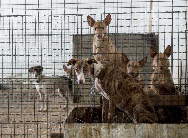 Perros de caza abandonados: desmontamos la rentable mentira animalista