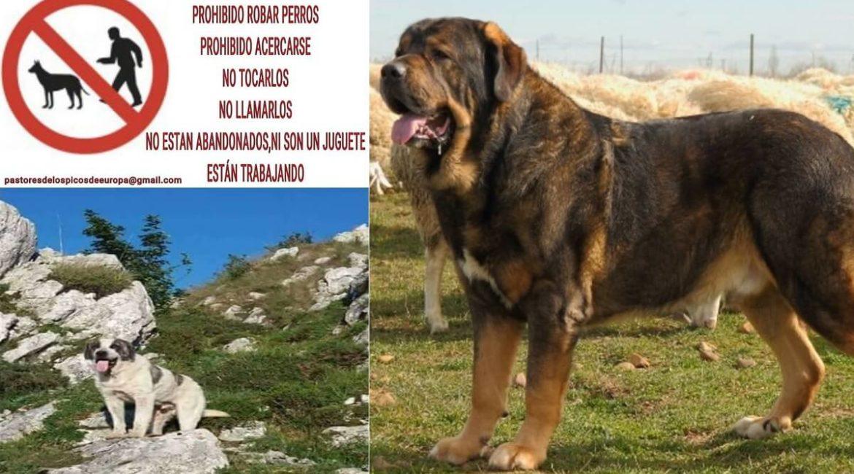 Lanzan una campaña para que los urbanitas que van al campo no roben perros pastores