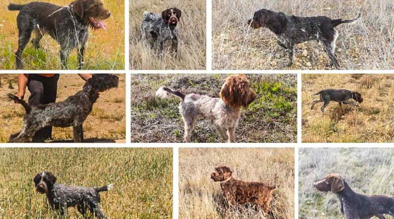 Estos son los 13 perros robados a un cazador de Burgos, si reconoces alguno de ellos ¡denuncia!