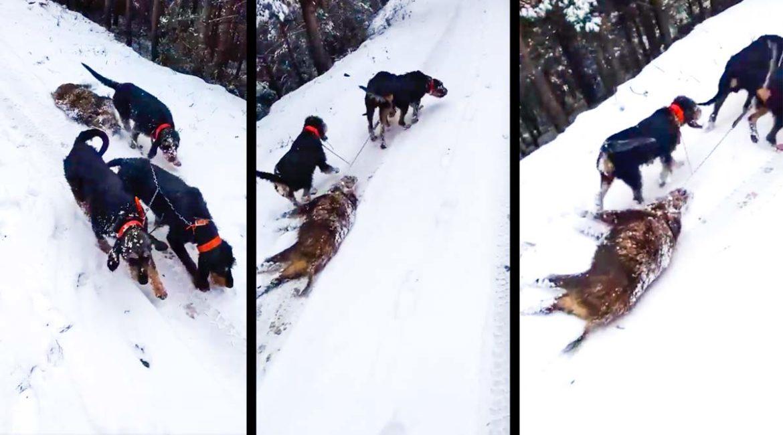 Estos extraordinarios perros de caza sacan el jabalí del monte deslizándolo en la nieve