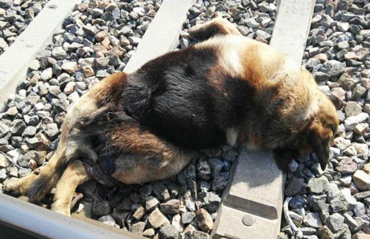Identifican al autor de la muerte de 20 animales atándolos a las vías