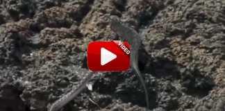 persecucion-serpientes-a-iguana