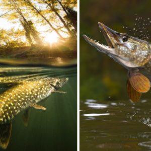 Spinning: Así se pescan lucios a pez visto
