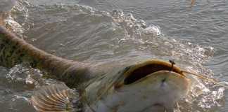 siluro pescado