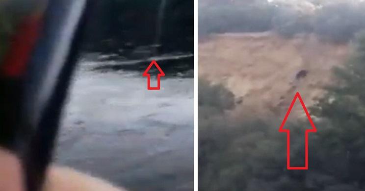 'Pesca' un jabalí en el Tormes y lo graba en vídeo