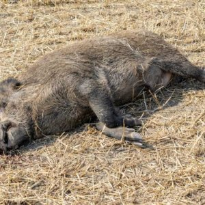 La peste porcina se aproxima: aparece un jabalí enfermo fuera del área de seguridad belga