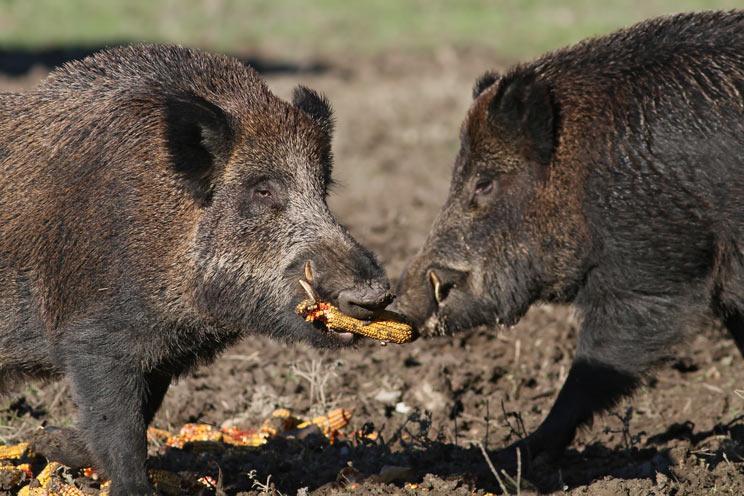 La peste porcina africana amenaza a los jabalíes. / Shutterstock