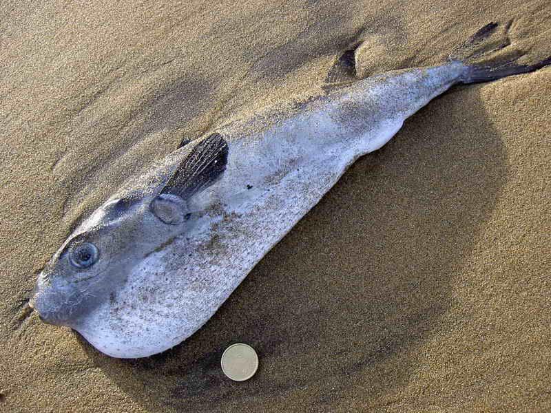 pez globo vizcaya-Iñaki Rojo Legarra