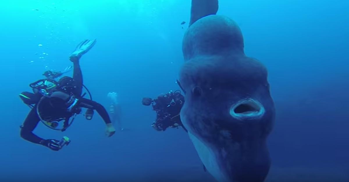 Descubren un colosal pez luna de 4,5 metros en Portugal