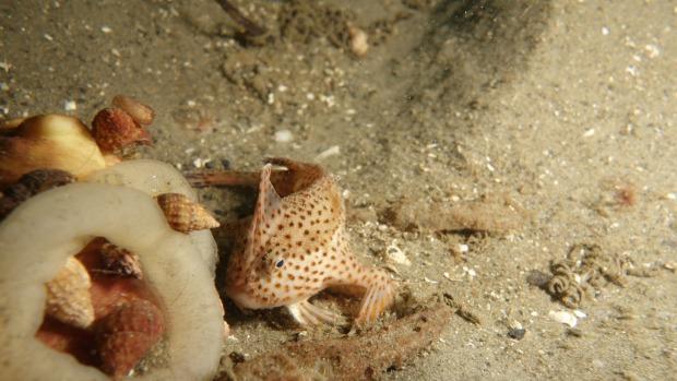 Brachionichthys Hirsutus o 'Handfish'