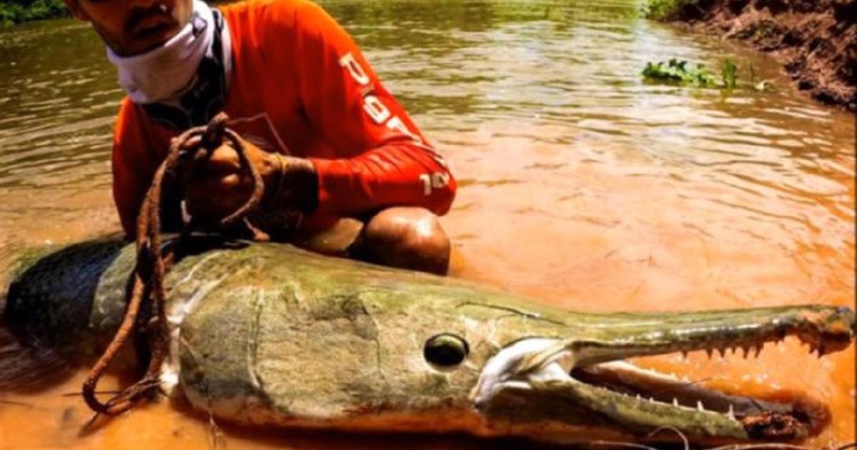 Capturan un pez prehistórico de ¡más de dos metros!