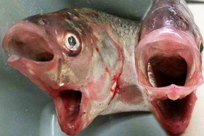 Descubren un pez con dos bocas