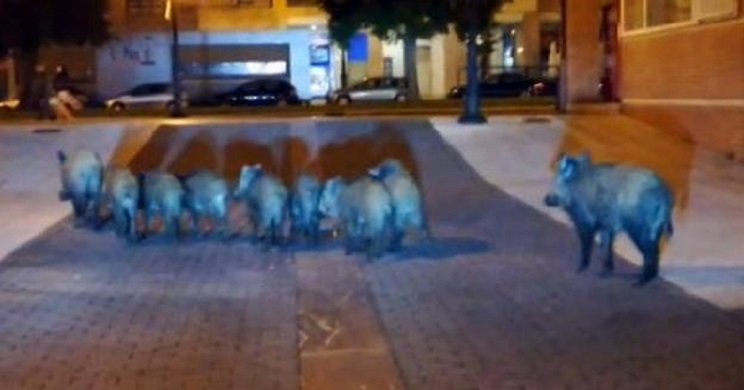 Una piara de jabalíes toma el centro de Oviedo