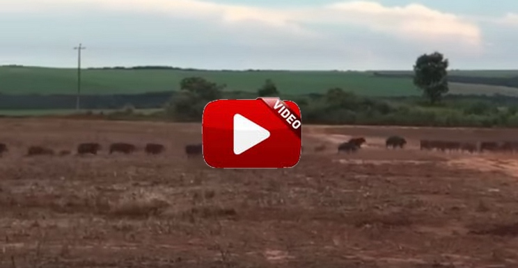 Gigantes piaras que aterran a los agricultores