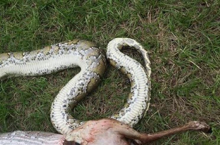 Encuentran un ciervo de 15 kilos en el interior de una serpiente de 14