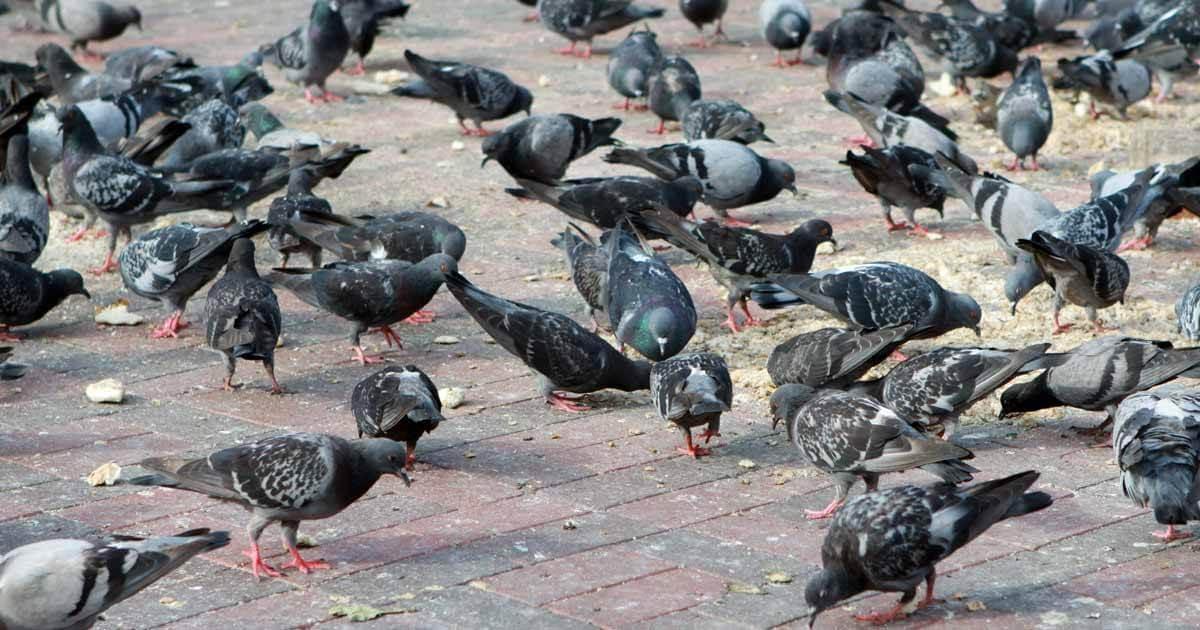 Consejos para librarse de las plagas de palomas