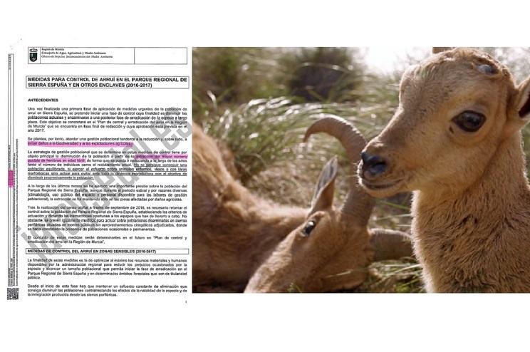 Exclusiva: el plan para exterminar el arruí en Murcia es ilegal