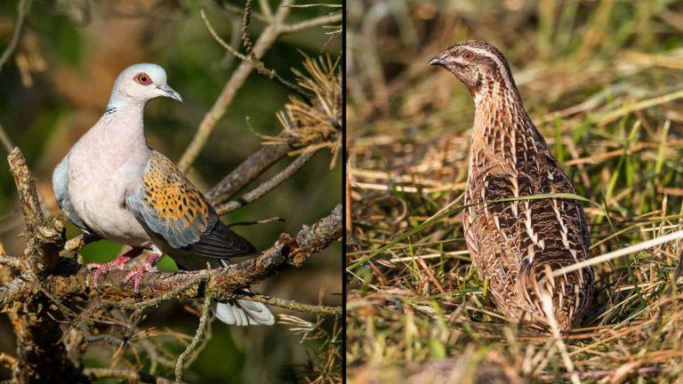 Tórtola europea y codorniz, las dos especies cuya caza quiere prohibir Podemos.