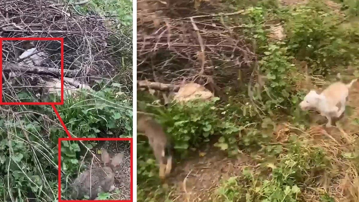 Apasionante vídeo de una podenca de dos meses cazando conejos