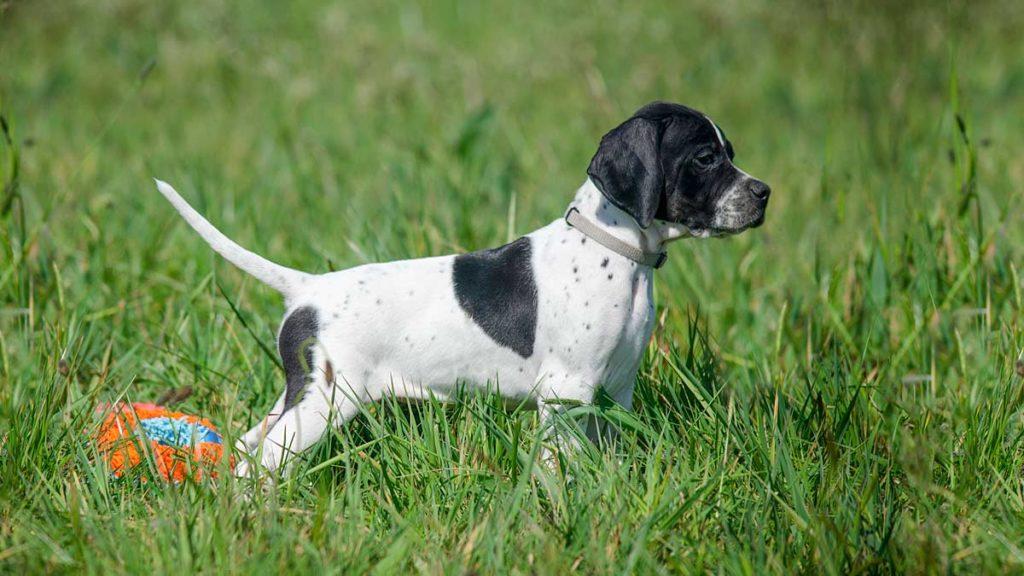 El pointer inglés debe ser bien socializado desde cachorro. ©Shutterstock