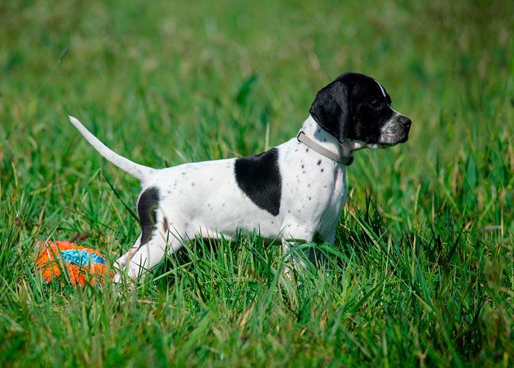 Cómo iniciar a un cachorro en la caza