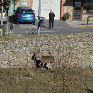Una chapucera batida de control de ciervos termina con agarres dentro de un pueblo y polémica
