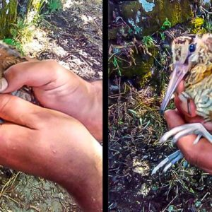 Salva a un pollo de becada que huyó de una desbrozadora y entró en un pueblo de Orense