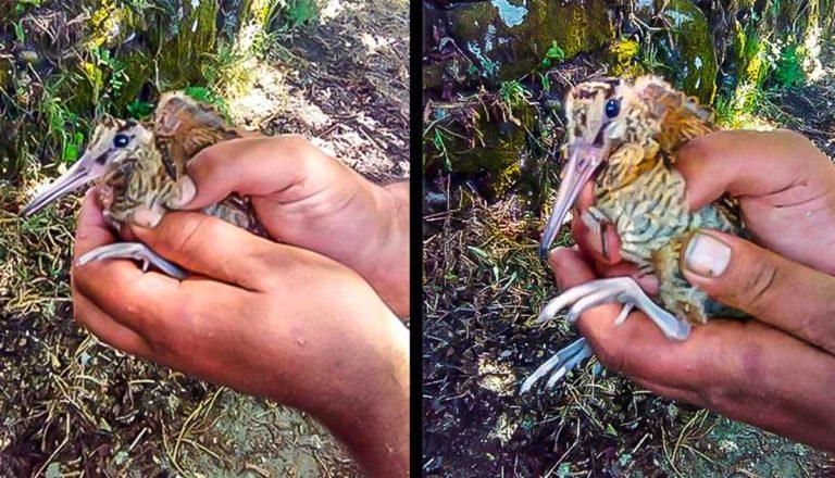 Imagen del pollo de becada rescatado por Dimas.