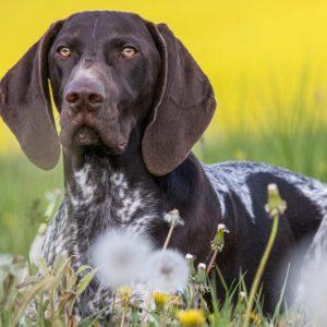 ¿Cuándo es mejor vacunar a mi perro de caza?