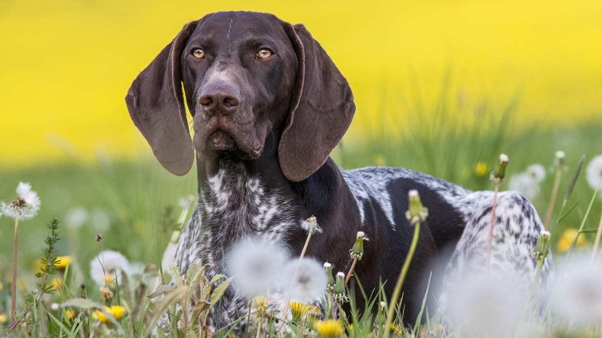 por qué mi perro se revuelca en la hierba