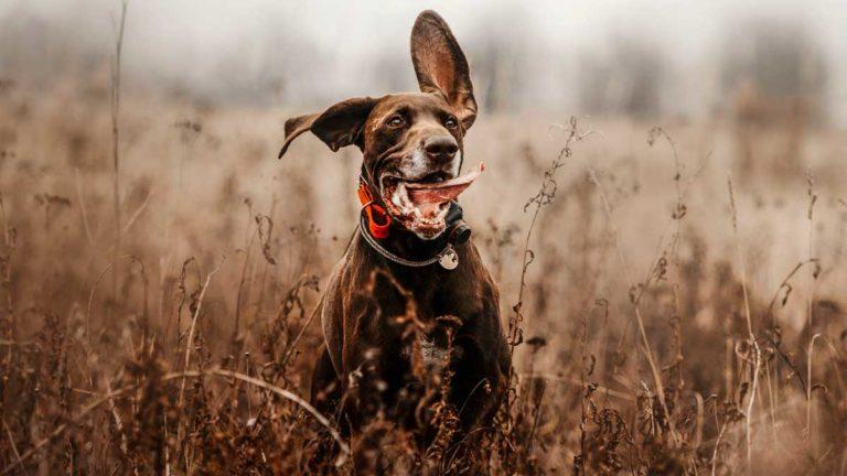 Un perro de caza. © Shutterstock