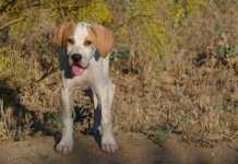 portada 10 consejos para criar tu perro de caza