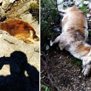 La sarna mata al 90% de las cabras de un coto de Cádiz que ya alertó hace meses del problema