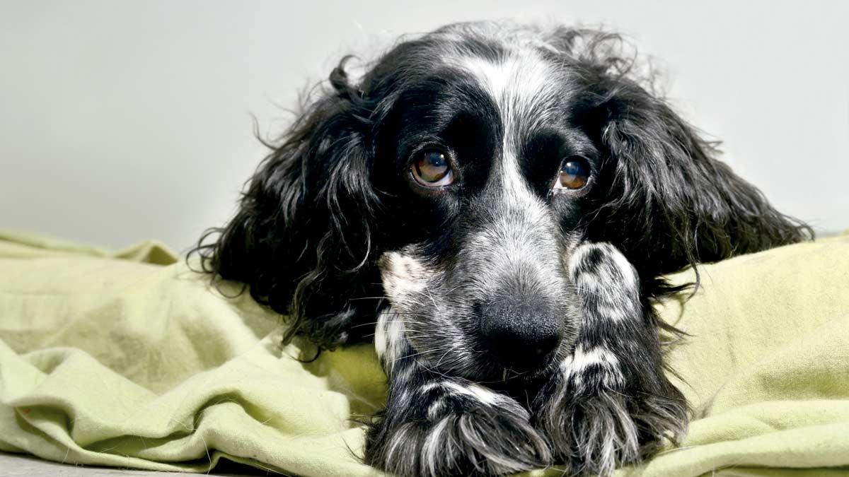 ¿Por qué mi perra de caza no se queda preñada?
