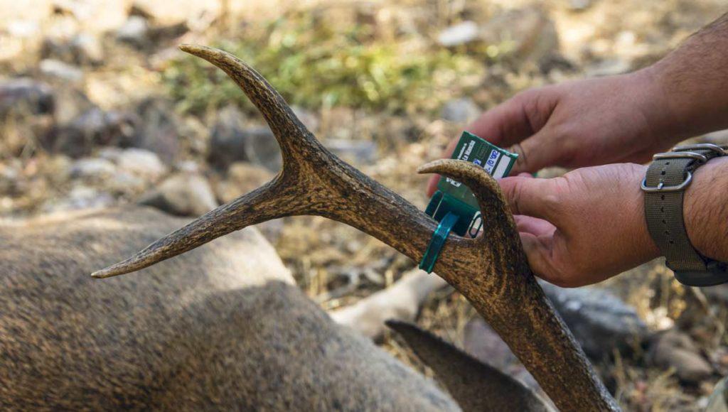 Cazador colocando un precinto a un ciervo selectivo. /Ángel Vidal