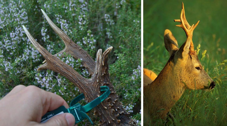 Los cazadores de corzo podrán recibir por correo sus precintos en CLM