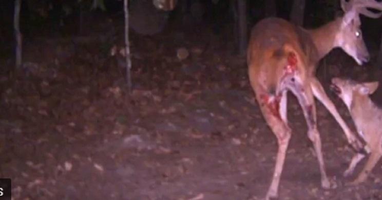 Predadores se comen a un ciervo delante de una cámara de fototrampeo