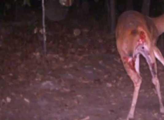 predadores se comen ciervo
