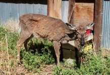 primer-caso-de-encefalopatia-espongiforme-en-ciervos-europeos