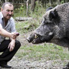 Alimentar jabalíes comienza a castigarse con altas penas y multas en algunos países
