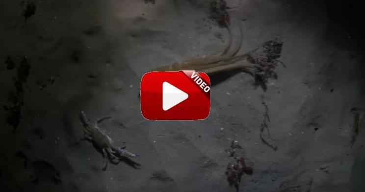 Graban a un pulpo persiguiendo a un cangrejo y la sorpresa que se llevan cuando aparece un tercer protagonista