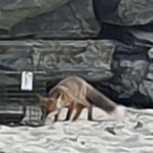 Capturan a un zorro que le había robado las zapatillas a un bañista en una playa de Galicia