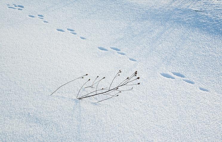 rastro liebre en la nieve