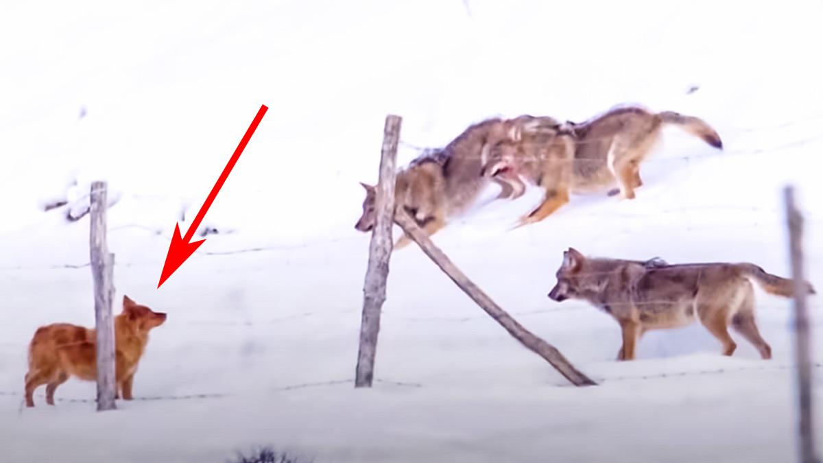 Así reacciona un perro pastor al verse acorralado por tres lobos