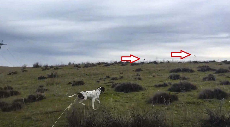 Así reacciona un pointer la primera vez que se enfrenta a una perdiz salvaje