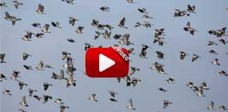 recopilacion mejores videos de caza de palomas.