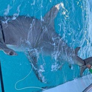 Pescan un tiburón martillo de 550 kilos, el más grande jamás capturado