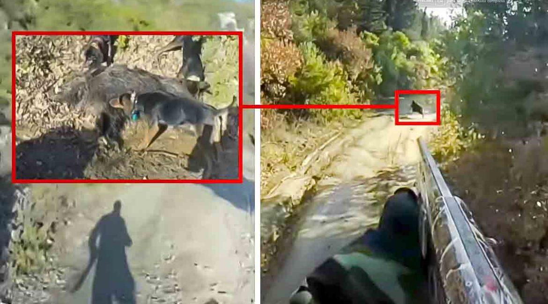 Cruza corriendo medio coto para cazar un jabalí de infarto con escopeta